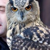 Owl, Grat Barford